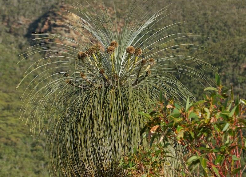 Black Gin (Kingia australis)