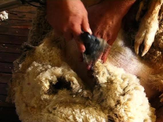 Mengintip Peternakan Domba Merino Australia