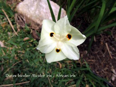 annieinaustin, bicolor iris flower