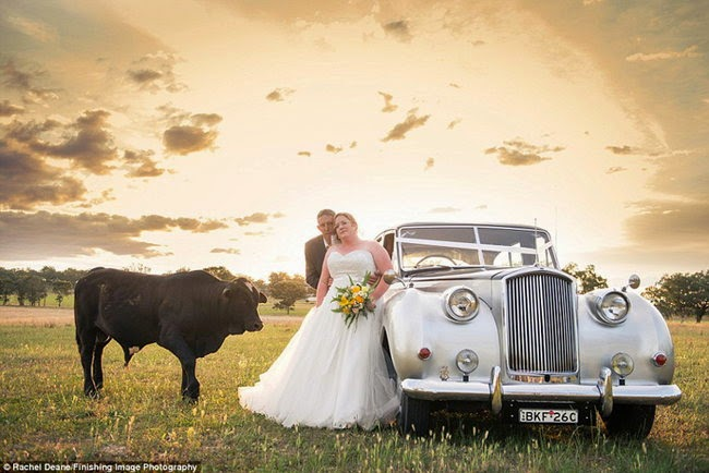 This bull almost ruined newlyweds photo shoot (9 pics), bull photobombs newlyweds photo shoot