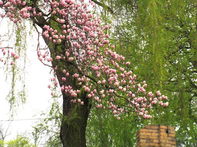 warunki magnolii