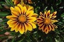 11 Fotografías de las flores de la Gazania