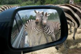 Funny Zabra Looking In Mirror