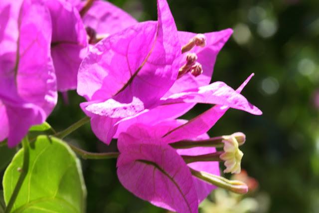 Violet Bougainvillea Stamens & buds