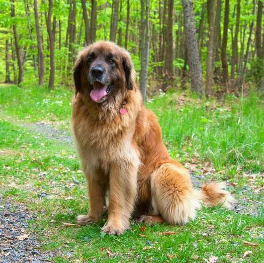 Large Dog Size Comparison