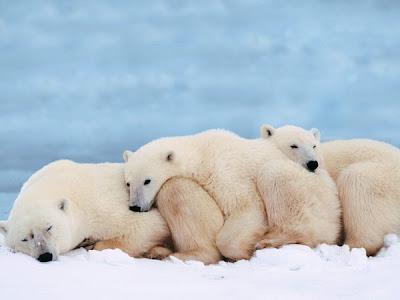 osos polares durmiendo
