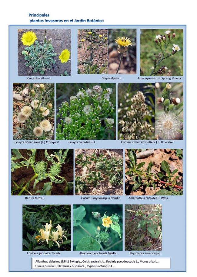 Canarias Plantas invasoras, malas hierbas, plagas No es lo mismo