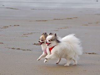 pomeranian dogs, pomeranians pictures, pomeranian puppies, puppies pomeranian