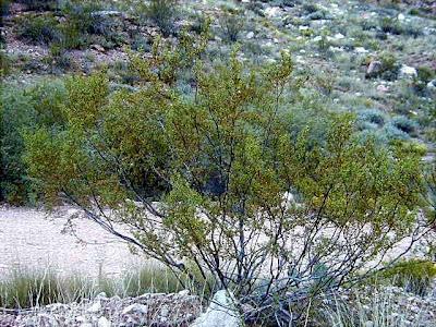 creosote2 6 Jenis tumbuhan tertua di dunia
