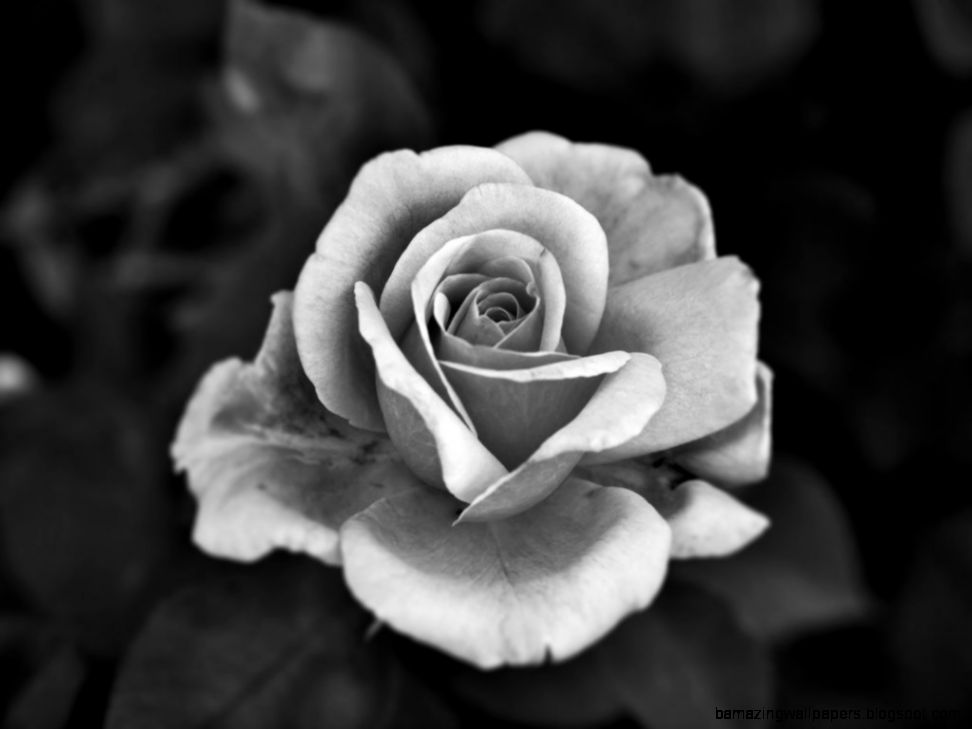 View original size black and white roses image source from this
