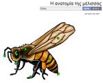 Η ανατομία της μέλισσας