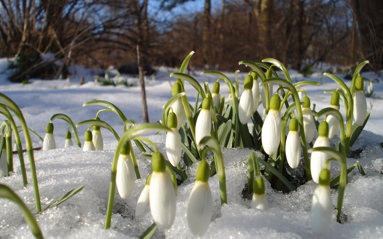 HOW TO PLANT AND GROW SNOWDROPS The Garden of Eaden