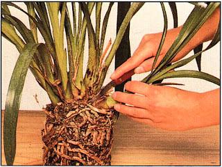 Орхидеи могут образовывать крупные кустистые побеги и нуждаются в делении
