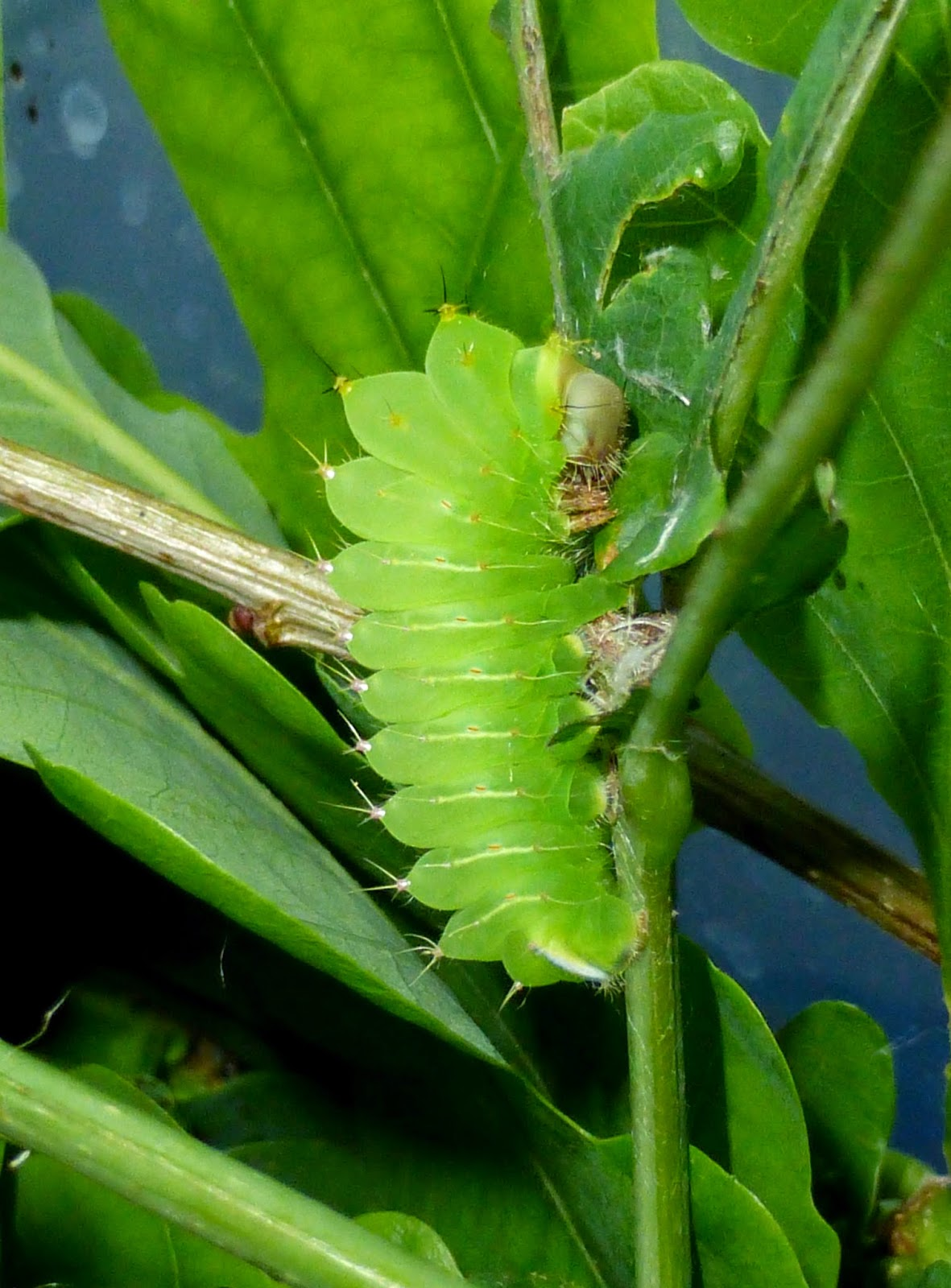 Antheraea polyphemus L2 caterpillar