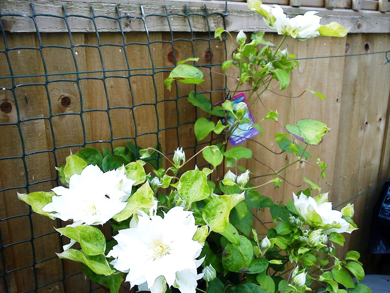 clematis arctic queen plantfiles pictures clematis early large flowered clematis arctic queen. Black Bedroom Furniture Sets. Home Design Ideas