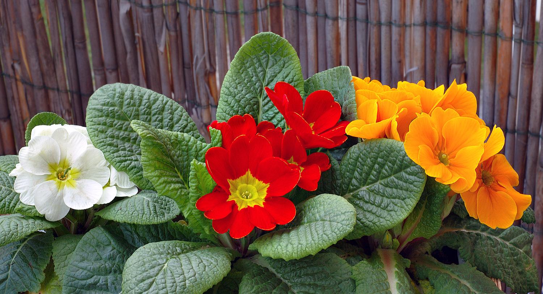 Низкорослые комнатные цветы фото