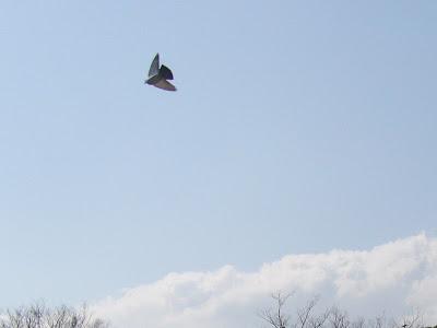 大阪城公園の鳩