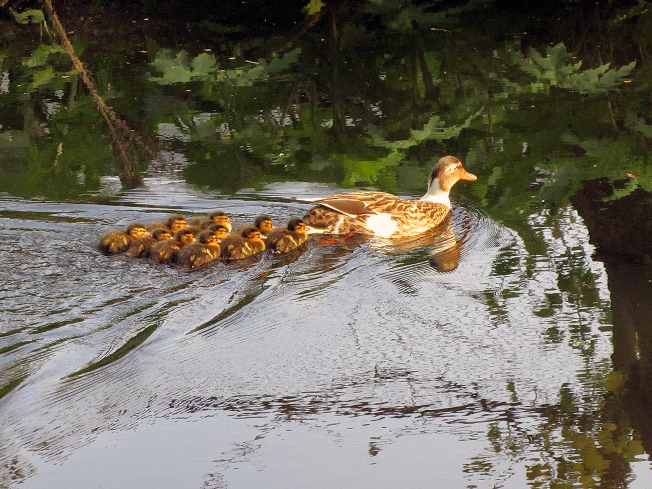 mother duck with chicks