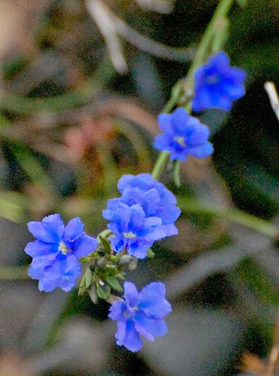 Dampieria sp