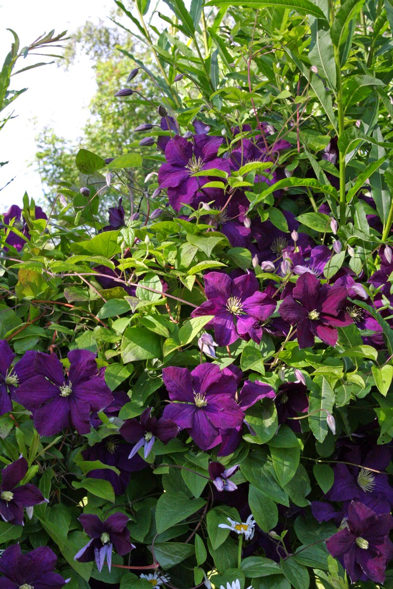 the view from bag end clematis. Black Bedroom Furniture Sets. Home Design Ideas