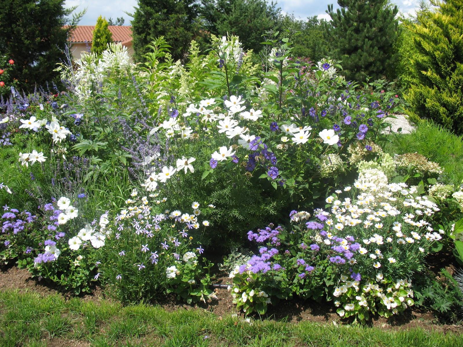 Roses du jardin Chªneland Anthémis ou Argyranthemum Frutescens