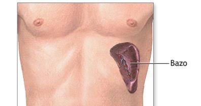 El bazo, organos linfoides y biologia