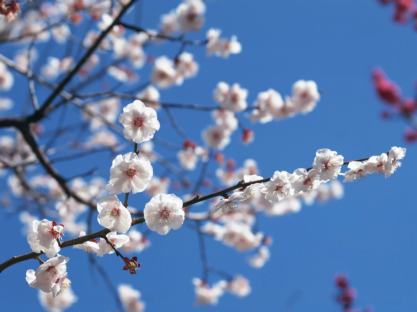 hinh-nen-hd-dep-hoa-anh-dao-Japanese_nice_wallpapers-windows-8_xuan-2013-456789
