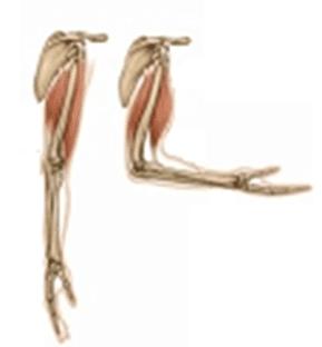 Extremidades (músculos, huesos y médula ósea).
