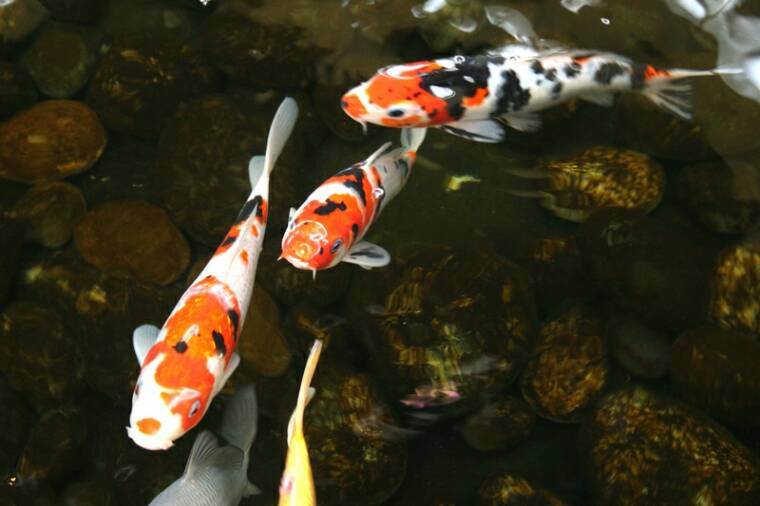 World 39 s all amazing things pictures images and wallpapers for Koi carp fish pond