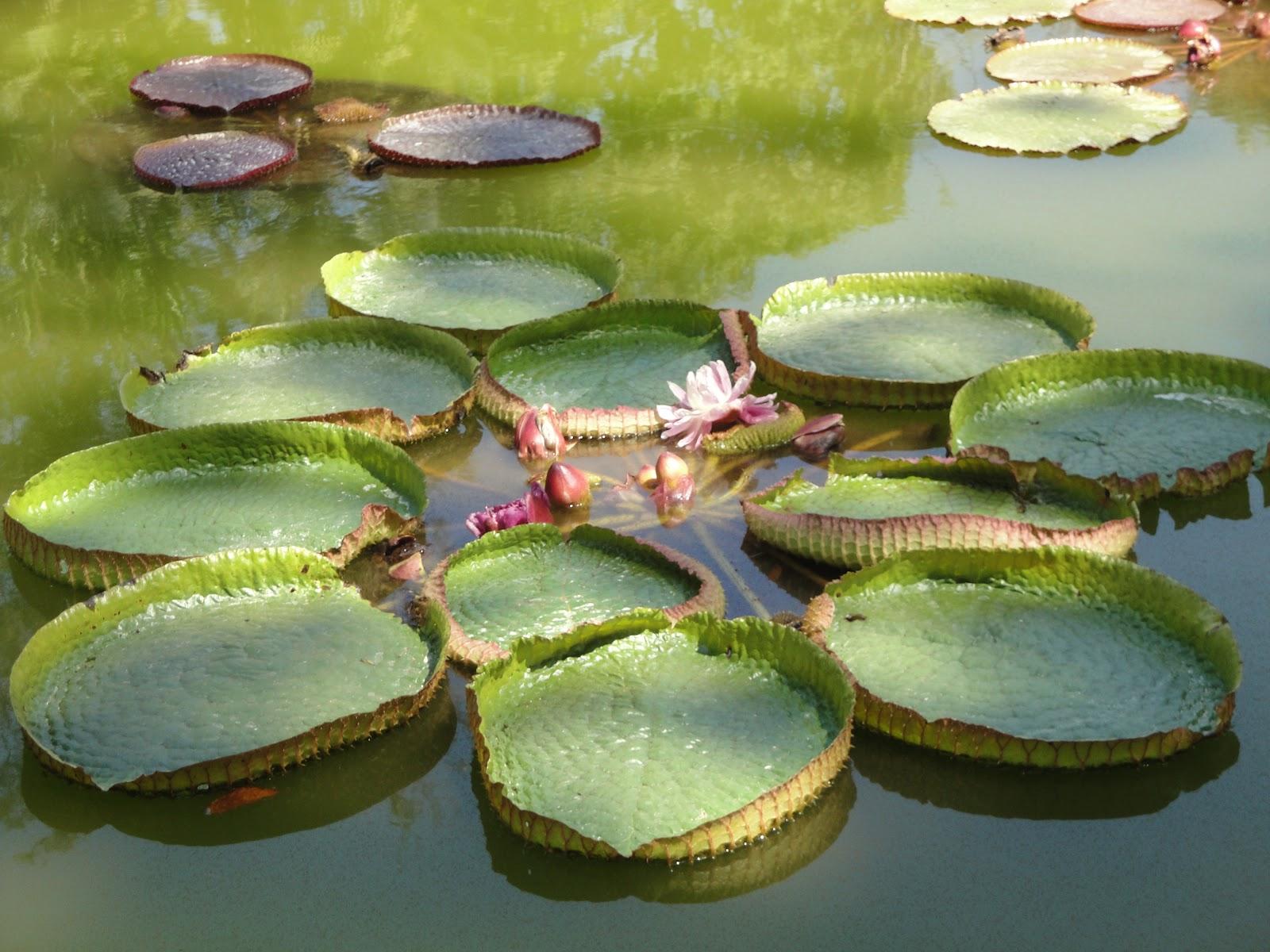 Arte y jardiner a plantas acu ticas en dise o de jardines for Tipos de estanques para acuicultura