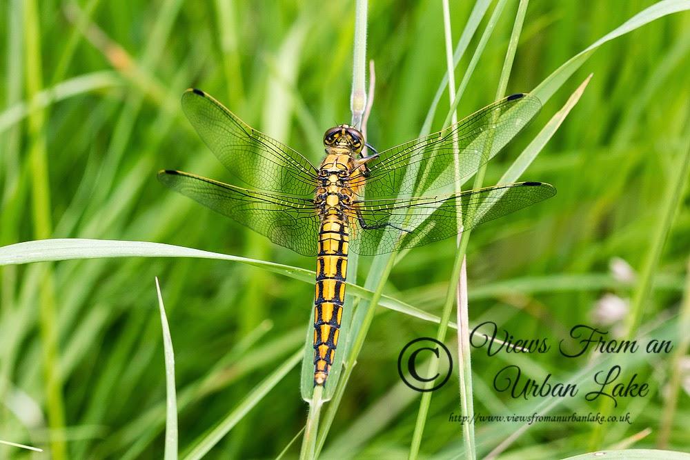 Black-Tailed Skimmer (Female) - Loughton Valley Park, Milton Keynes