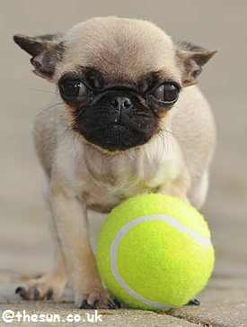 http://3.bp.blogspot.com/-G86RQhiI9zA/TpOsPptvRLI/AAAAAAAABVc/j7UVD95MYUg/s1600/world%25E2%2580%2599s-smallest-dog-The-Sun-.png