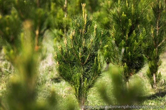 Woohoo, just two weeks to go - Christmas trees in Awatoto photograph