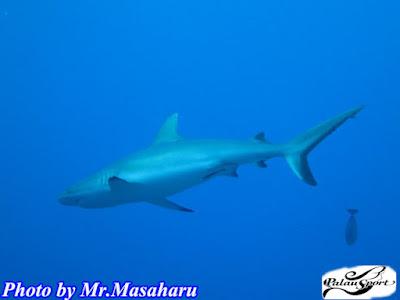パラオ ダイビング ブルーコーナー サメ