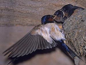 gambar burung walet
