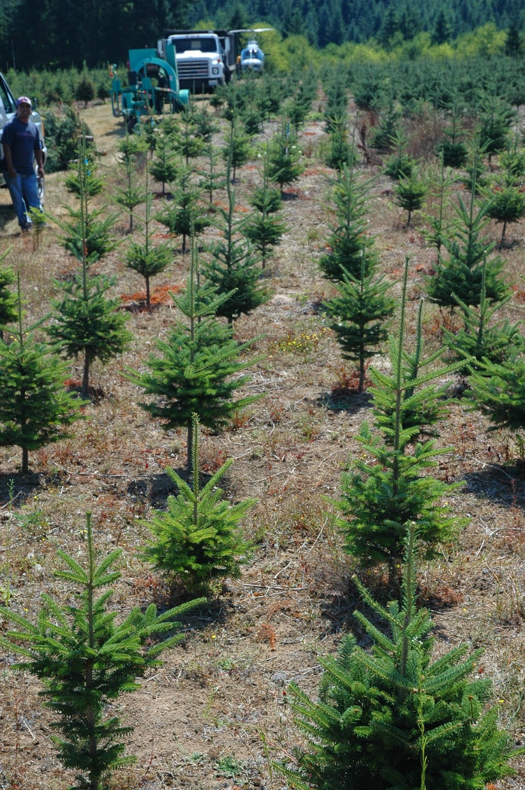 CO Horts O' Christmas Tree O' Christmas Tree How Are You Grown? - Christmas Tree Seedlings