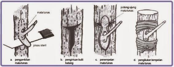 Cara Okulasi Pohon Mangga yang Tepat