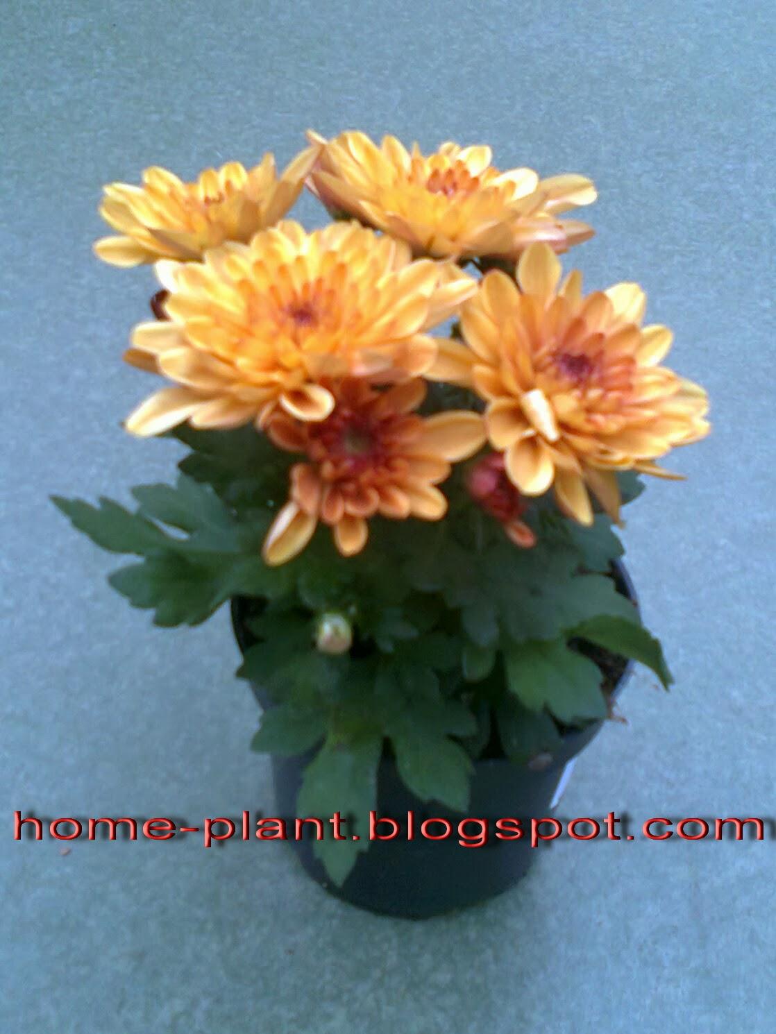 Хризантема. Уход за цветком в домашних условиях, фото 61