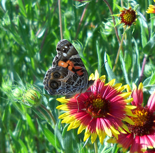 An American Lady (Vanessa virginiensis) butterfly on a Firewheel Winfrey Point, White Rock Lake