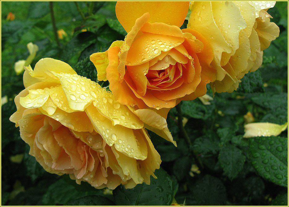 Rosas amarillas related keywords suggestions rosas - Significado rosas amarillas ...