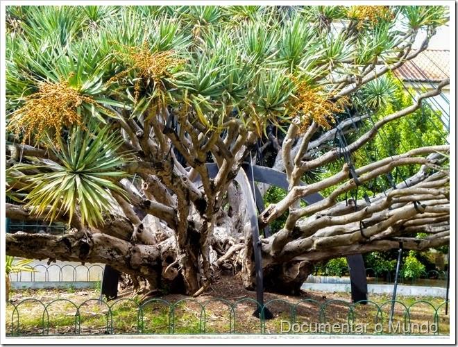 Dragoeiro; Dracaena draco; Jardim Botânico da Ajuda; Ajuda; Lisboa