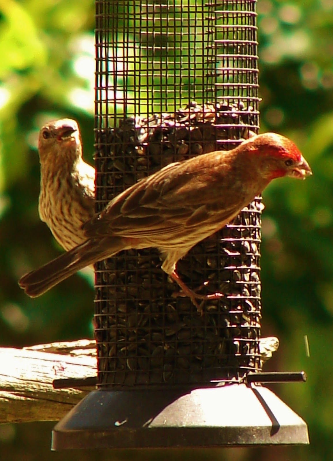 The Doves Pecked At Seeds Dropped From Feeders And Thrashers Towhees Searched Area For Critters I Was Feeling Pretty Happy With My Busy