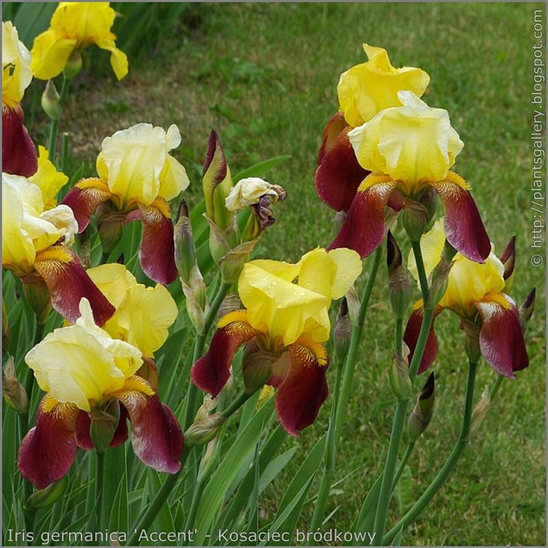 Iris germanica 'Accent' - Kosaciec bródkowy 'Accent'  kwiaty