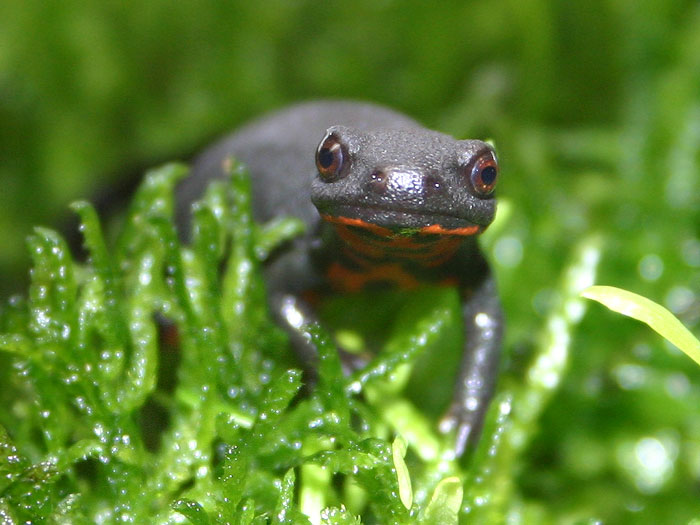 Chinese Fire Belly Newt The Life of Animals