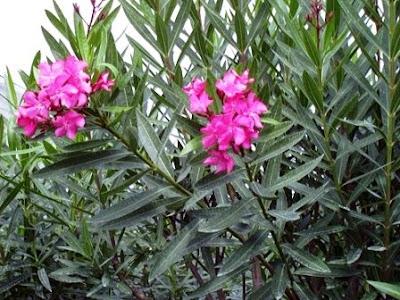 Adelfa ( Nerium oleander).