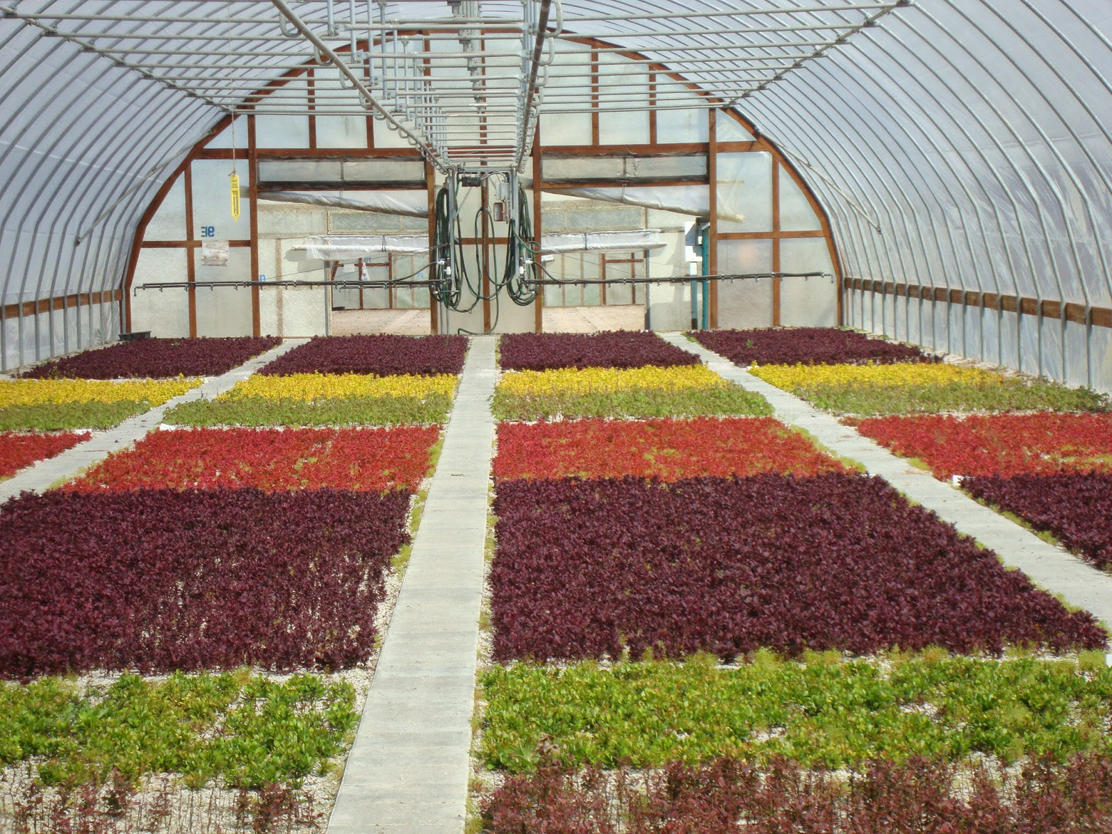 One Of Jeff S Greenhouses At Bailey Nurseries Inc Yamhill Or Thousands Cuttings Barberry Are Rooting Which Will Be Planted