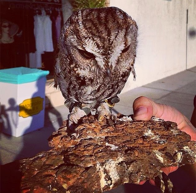 Wildlife Learning Center, Zeus, blind owl