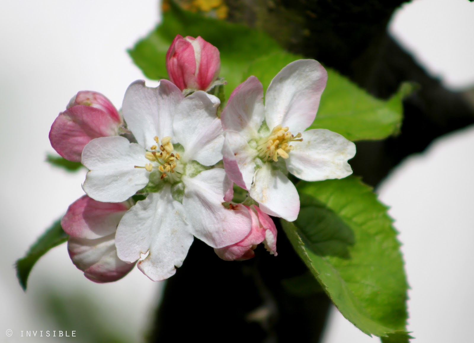 Invisible SLG Photos: Flores del Manzano