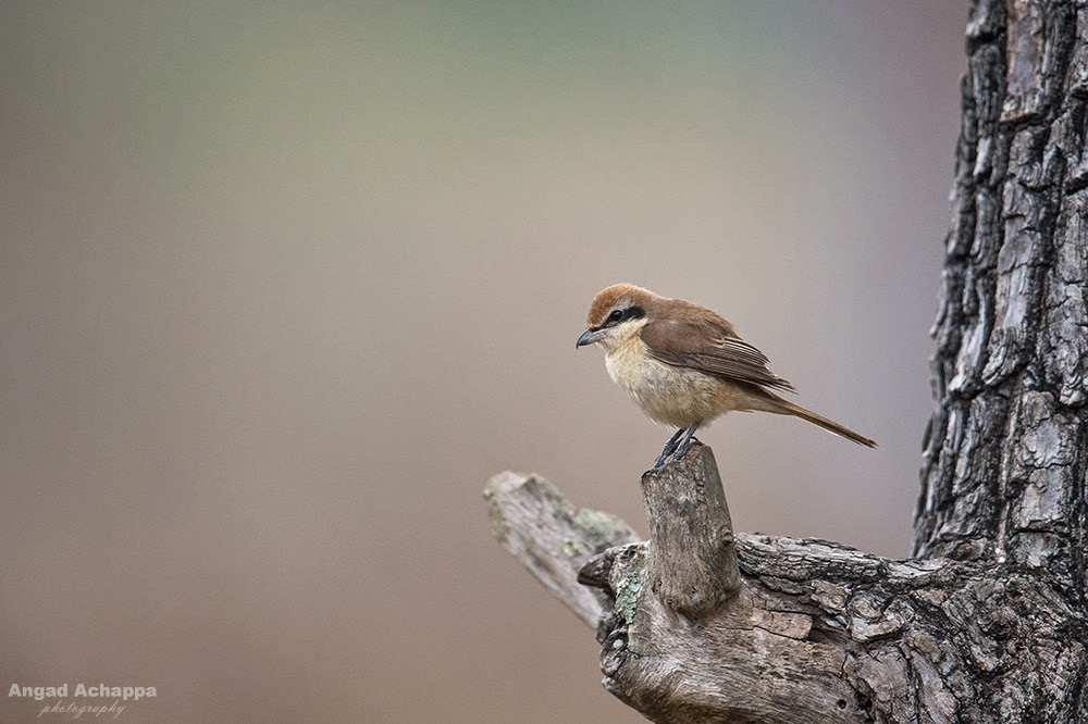 brown shrike, shrikes, Bandipur, Bandipur National Park, Karnataka, India, Wildlife Photography, Indian Wildlife, top indian wildlife photographers, top indian photographers