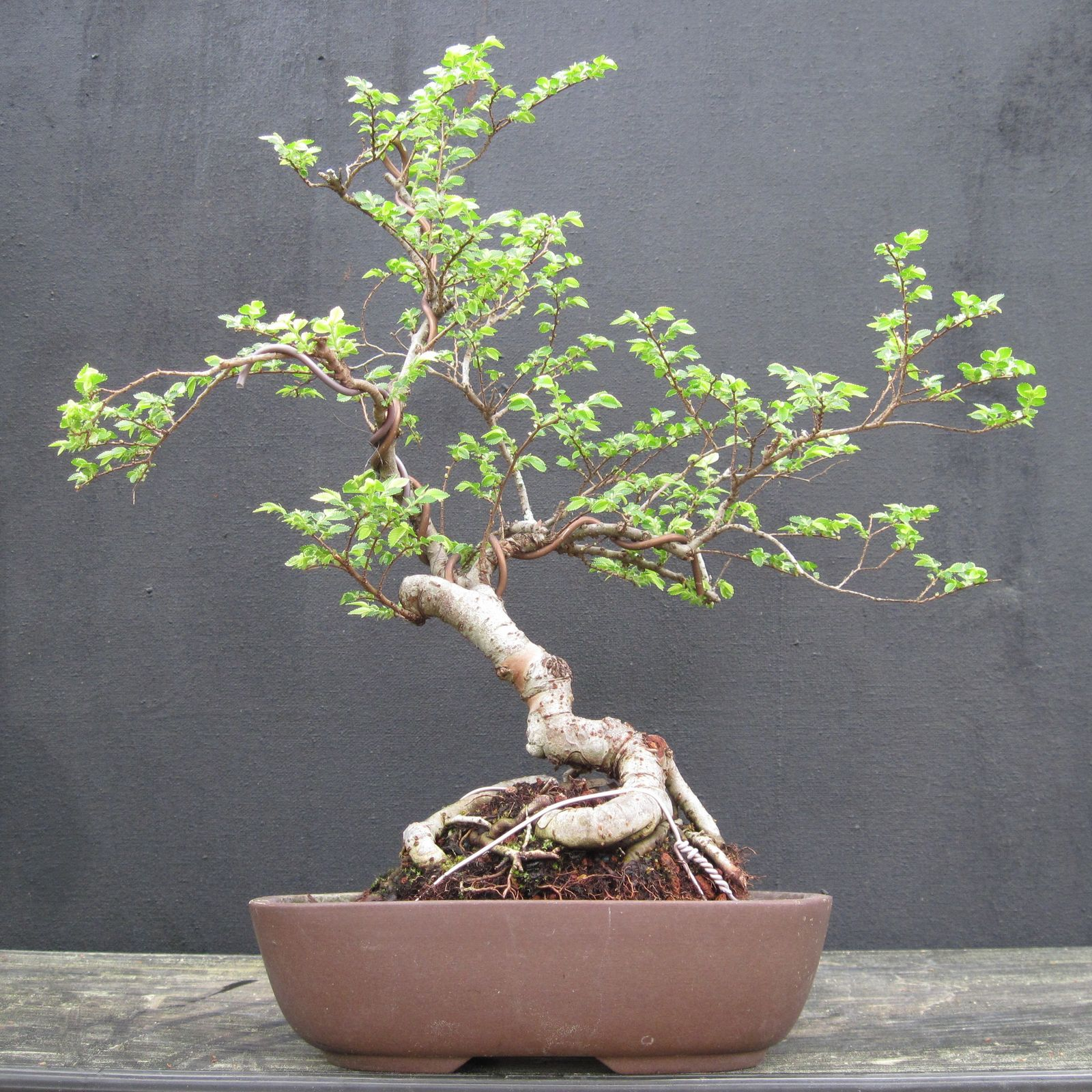 Bonsai Beginnings Chinese Elm Tough Durable Forgiving